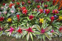 Bromeliads are satisfying plants to grow at home. Learn how to propagate your bromeliads from offsets (pups) produced by the mother plant. Succulent Landscaping, Planting Succulents, Planting Flowers, Flowering Plants, Air Plants, Pool Plants, Succulent Gardening, Landscaping Plants, Landscaping Ideas