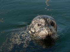 Fed a harbor Seal at Fisherman's Wharf Victoria BC Canada
