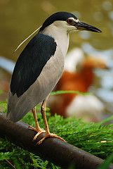 """Black-crowned Night heron ~ 23-28"""" (58-71 cm). W. 3'8"""" (1.1 m). A medium-sized, stocky, rather short-necked heron with black crown and back, gray wings, and white underparts. Bill short and black, legs pinkish or yellowish. In breeding season it has 2 or more long white plumes on back of head. Young birds are dull gray-brown lightly spotted with white. Young Yellow-crowned Night-Herons are grayer, with stouter bills and longer legs."""
