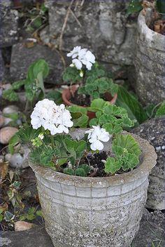 White Geraniums 。\|/ 。☆ ♥♥ »✿❤❤✿« ☆ ☆ ◦ ● ◦ ჱ ܓ ჱ ᴀ ρᴇᴀcᴇғυʟ ρᴀʀᴀᴅısᴇ ჱ ܓ ჱ ✿⊱╮ ♡ ❊ ** Buona giornata ** ❊ ~ ❤✿❤ ♫ ♥ X ღɱɧღ ❤ ~ Sa 04th April 2015