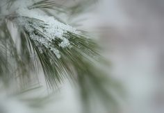 Yesterday it snowed and these snow cyrstals looked like diamonds .a nature jewelry on the lovely Maine pines .I thought they were beautiful! I tried the wide aperture and separate the crystals .and have the soften surround light as it kept on snowing .the visibilty of foggy snow haze was a joy to have in this scene . .I dedicate this picture to my lovely friend Delores Poll !! :-) thank you all dear friends for your kindness and inspiring me! Have a wonderful week~ :)