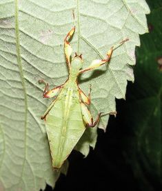 Walking Leaf by Drägüs, wikipedia #Insects #Walking_Leaf #Dragus #wikipedia