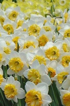 Dafodils or Narcisos Sunflowers And Daisies, Love Flowers, Yellow Flowers, Spring Flowers, Beautiful Flowers, Bulb Flowers, Flower Pots, Planting Bulbs, Planting Flowers