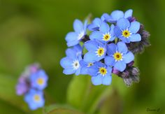https://flic.kr/p/ebNbrj   Forget-me-not    Myosotis (Forget-me-not).  These pretty little flowers take over my garden  at this time of year.