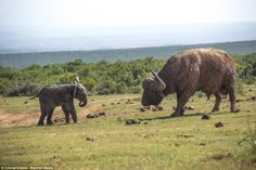 Standoff: The small calf was among a herd of elephants refreshing themselves at the Spekbo...