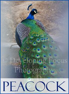 Male Peacock Exotic Bird Photography Art Print, Peacock Photography Art, Peacock Instant Download Photograhy Card or Print by CinnamonandSilver on Etsy