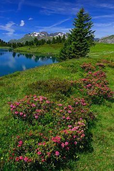 Alpenrosen Engstlenalp bei Innertkirchen