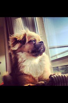 Tibetan Spaniel...raza de perros grossos si las hay...t miran con esa cara de q se las saben todas...y se las saben