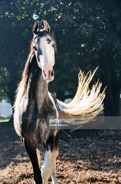 Portrait of grey piebald Marwari stallion in garden - Horses Braun/Grün/Blau Totalportrait - All The Pretty Horses, Beautiful Horses, Animals Beautiful, Marwari Horses, Breyer Horses, Rare Horses, Wild Horses, Zebras, Animals And Pets
