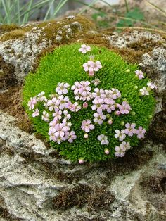 alpines plants grown in containers | Alpine Garden Society Online Show, 2012 - On-line Shows - Alpine ...