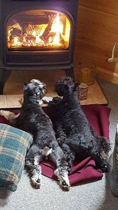 2 dogs loving heat -- My little schnauzer Moustique love fireplace also Link: https://www.sunfrog.com/search/?64708&search=schnauzer&cID=62&schTrmFilter=sales