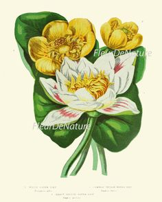 Beautiful print based on of antique botanical illustration from 1887. Wonderful details, colors and natural history feel. The print measures 8 x 10 inch. and printed on an 8.5 x 11 inch professional artist archival matte paper. Watermarks will not appear on your print. White border