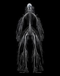A model of the human nervous system - Rufus Benjamin Weaver, MD ScD