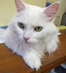 """Buffie is an adoptable Bobtail Cat in Saint Paul, MN. Beautiful, Retired, Does Not Slay Vampires """"Hello! I'm Buffie, and I'm friendly – to people, for sure. Some of these other cats – well, they stare..."""