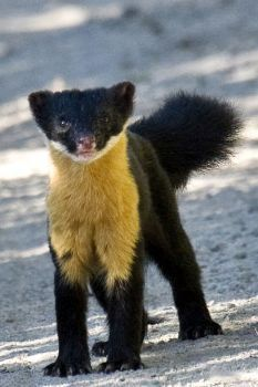 Rare & Beautiful Nilgiri Marten | The Featured Creature: Showcasing Unique and Unusual Wildlife