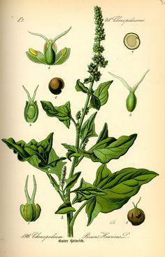 basil botanical illustration - Google Search
