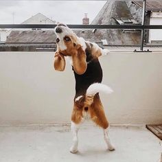 Treating Inflammatory Bowel Disease In Dogs Baby Beagle, Beagle Puppy, Shiba Inu, Beagle Colors, Animals And Pets, Cute Animals, Cute Beagles, Dog Wallpaper, Cute Dogs And Puppies