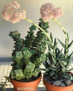 Crassula perforata ssp. perforata 'Giant form' y Crassula perfloliata var. perfoliata