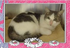 Pictures of DESIREE a Domestic Shorthair for adoption in Marietta, GA who needs a loving home.