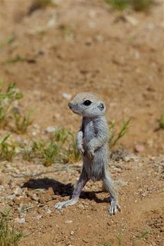 """These very young ground squirrels were just learning to stand. They could only stand on their hind legs for a few seconds at a time. ""Learning to stand (a week old round-tailed ground squirrel), photo by Eirini Pajak"" Bootifull! Mundo Animal, My Animal, Hamsters, Rodents, Beautiful Creatures, Animals Beautiful, Cute Baby Animals, Funny Animals, Wild Animals"