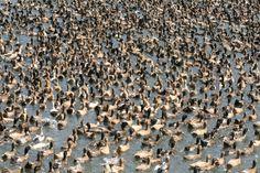 Duck farm - Alapphuza, Kerala, India #Vedanta Wake up!