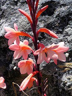 "Watsonia tabularis ""Table Mountain Watsonia"""