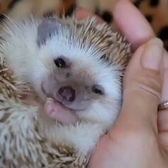 That lil nose! Cute Little Animals, Cute Funny Animals, Funny Cute, Hedgehog Pet, Cute Hedgehog, Cute Animal Videos, Animal Fun, Tier Fotos, Mundo Animal