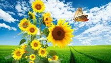 Sun Flowers Butterfly & Nature desktop PC and Mac wallpaper Flower Desktop Wallpaper, Sunflower Wallpaper, Widescreen Wallpaper, Butterfly Wallpaper, Free Hd Wallpapers, Nature Wallpaper, Wallpaper Backgrounds, Nechar Photos, Pictures