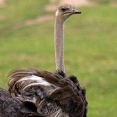 An ostrich hen lays 7 to 10 eggs at a time, but her large body can easily cover dozens more. Communal laying has advantages for an ostrich flock: more eggs successfully hatch overall in a communal nest than if each female ostrich had her own nest to incubate and protect. - See more at: http://animals.sandiegozoo.org/animals/ostrich#sthash.4X836M3B.dpufOstrich   San Diego Zoo Animals