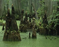 Bald cypress stumps and knees, rising from a swamp in southern Illinois as they did years ago in Washington DC [US Fish and Wildlife Service-Public Domain] D.'s Bald Cypress Fossils Bald Cypress Tree, Cypress Swamp, Cypress Trees, Cypress Wood, Tanzania, Swamp Water, Louisiana Swamp, Louisiana Usa, Safari