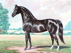 American Morgan Horse Association – Ideal Morgan