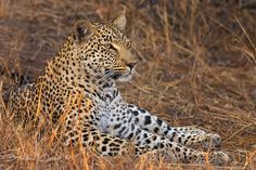 I photographed this lovely you female leopard, a number of years ago in the sabi sands game reserve, she was just resting up in some long grass when a nearby herd of impala caught her attention.