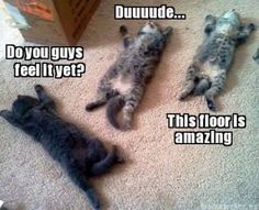 Funny cats, funny cat pictures, funny cat quotes, funny kitties, humor cats, lol cats, hilarious cats ...For more hilarious memes visit www.bestfunnyjoke...