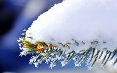 Обои иголки, зима, ель, снег, Макро, ветка