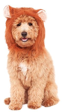 Rubies Costume Company Lion's Mane Costume Accessory for Pets ** Find out more about the great product at the image link. (This is an affiliate link and I receive a commission for the sales)