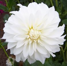 Beaucon White. A gorgeous lovely white dahlia with petals fold to the stem.  The plant produces lots of blooms, and grows...