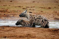Hyaenas having a bath, Hapoor Dam, Addo
