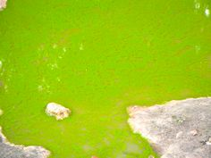 A green puddle of water with a rock. #green #water #rock