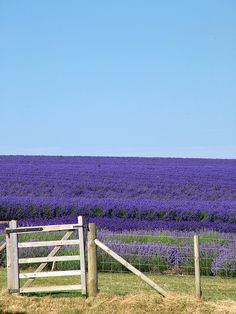 Lavender Fields -  I can't even begin to imagine how wonderful this would smell!