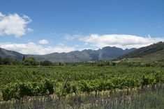 Sitting in the magnificent Franschhoek Valley in South Africa's Western Cape, her lush vines spread across with gentle vistas over the valley floor, with the rugged mountains beyond. This is heartland South African wine country at its very finest.