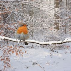 Robin in the winter