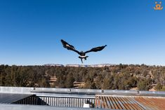 Wild Friends recently successfully rehabilitated and released several Golden Eagles. Here's one heading out shortly after discovering his newfound freedom! Photo by Kurt Budde
