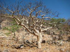 Commiphora tenuipetiolata, Sesfontain.