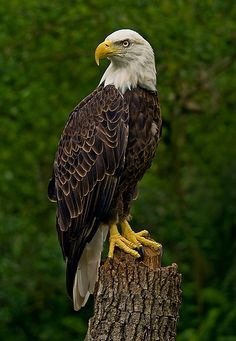 Southern Bald Eagle by Jason Patterson - Photo 117690877 - Eagle Images, Eagle Pictures, Bird Pictures, Pictures Of Bald Eagles, Birds Of Prey, Beautiful Birds, Animals Beautiful, Bald Eagle Tattoos, Aigle Animal