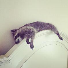 Do not disturb. #baby #babyraccoon #raccoon #sleepy #notamorningperson #cute #love #islandgirl #lazy