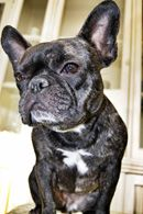 For more information,  pictures or to apply for Mylie, just click on his name.  If, after you read all about Mylie, you feel your home is not the best fit, we have lots of other adorable Frenchies waiting for forever homes as well. Be aware we...