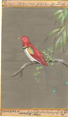 "King Bird of Paradise Painting. The king bird-of-paradise is distributed throughout lowland forests of New Guinea and nearby islands. This so-called ""living gem"" is the smallest and most vividly colored among birds-of-paradise."