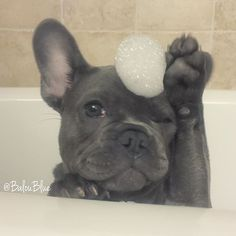 """""""Can this Bath be over, please?"""", French Bulldog Puppy who is over it.❤️❤️"""