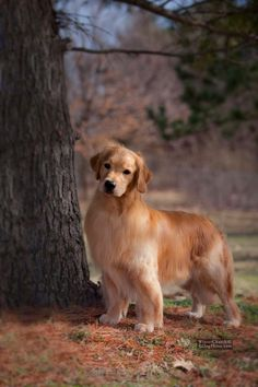 BISS GCH CH Tempo's U've Got What Gets Me SDHF Golden Retriever