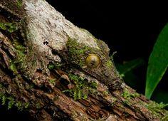 Der Gecko ist ein Bewohner des Regenwaldes und liefert sich mit seinen Mitbewohnern einen beachtlichen Wettbewerb im Verstecken. Nur seine Augen verraten ihn. Diese schließt er aber, wenn er sich von Fressfeinden bedroht fühlt. (Bild: Caters)